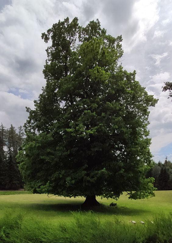 Magnifique chêne