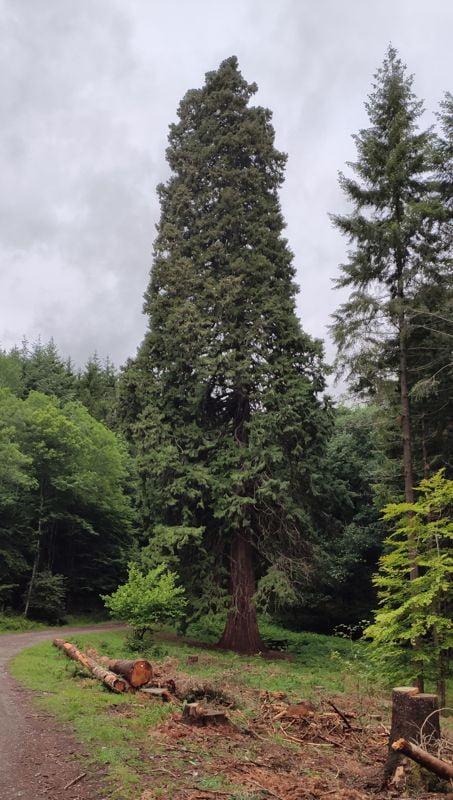 Un sequoïa