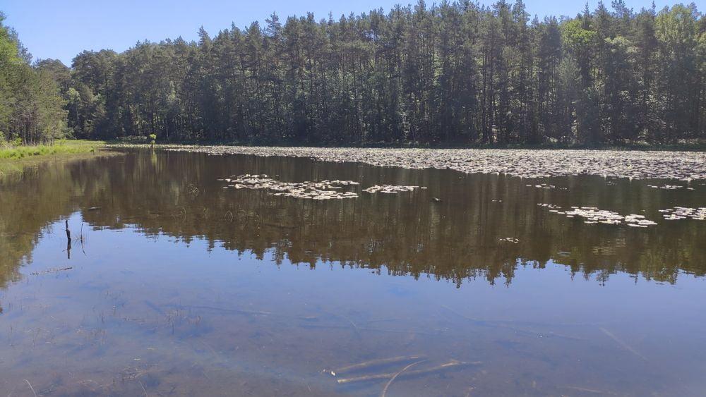 L'étang de Lieschbach et ses nénuphars